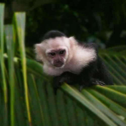 capuchin-500x500
