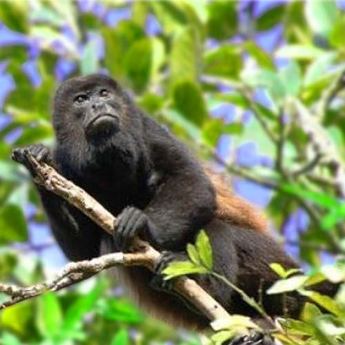 howler-monkey-500x500
