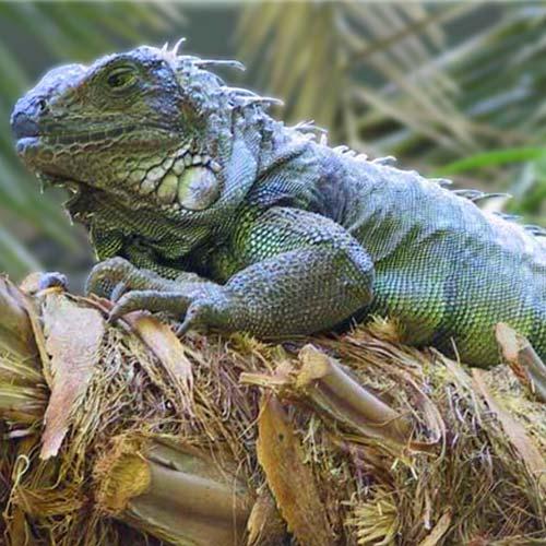 iguana-500x500