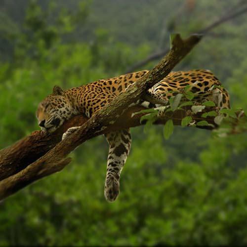 jaguar-500x500