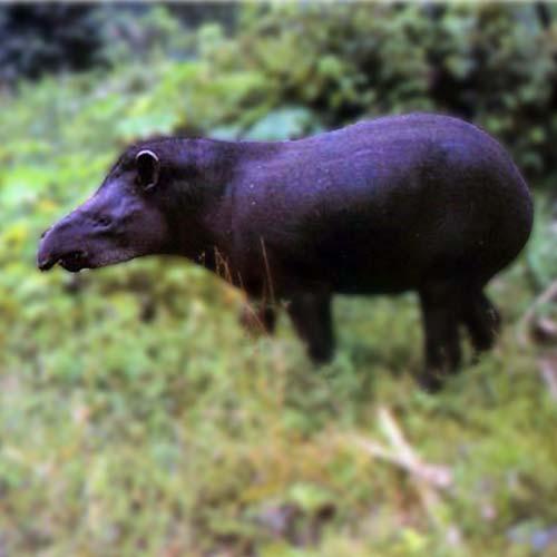 tapir-500x500